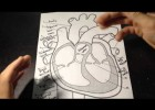 Labeling Parts of The Heart And Direction Of Blood Flow | Recurso educativo 113805